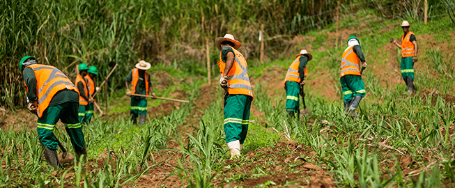 The photo shows weeding practiced on a sugar cane plantation on a Barra Longa farm, Minas Gerais.