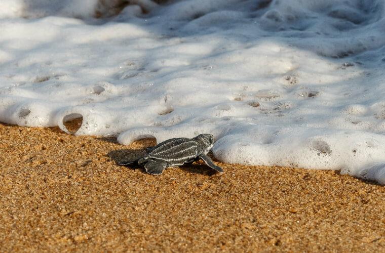 Soltura de tartarugas, em Linhares, no Espírito Santo