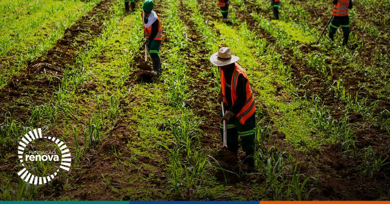Cane plantation in Barra Longa (MG).