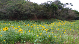 Sunflowers bloom in region with tailings sedimentation