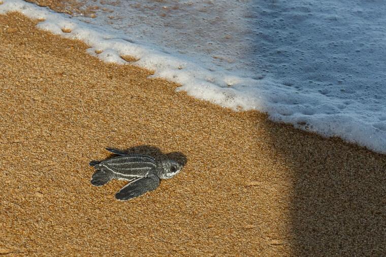 Fundação Pró-Tamar será parceira da Renova no monitoramento de tartarugas marinhas.